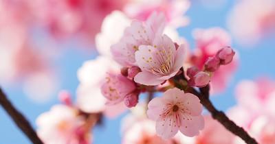 Plane deine Reise bestenfalls heute noch: Die Kirschblüten-Saison steht bevor