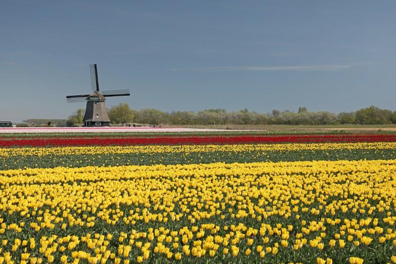 Holland ist zurecht für seine wunderschönen Tulpenfelder bekannt.