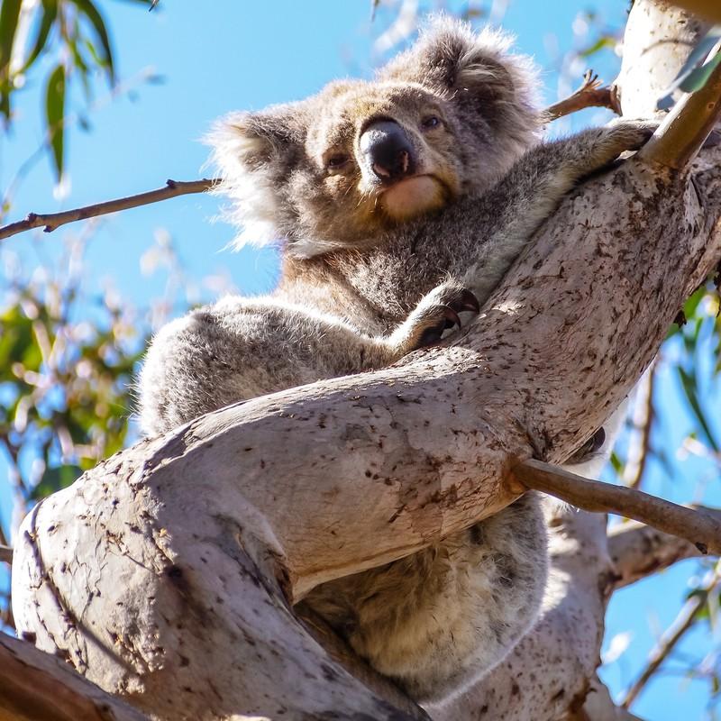 Man sieht einen Koala und es geht um ein Länder Quiz.