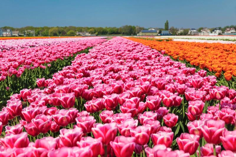 Man sieht Tulpen und es geht um ein Länder Quiz.