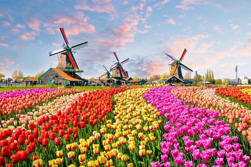 Die berühmten Tulpenfelder vor Windmühlen