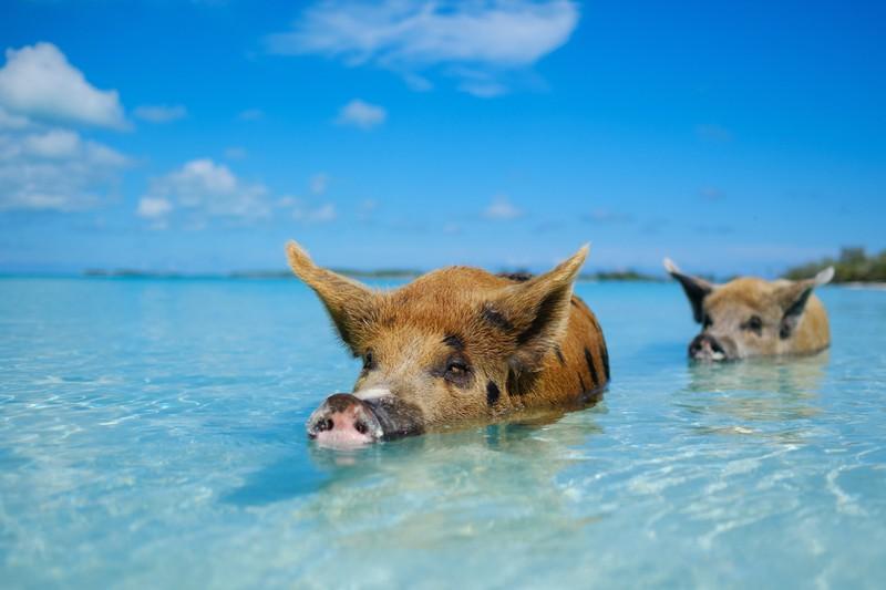 Auf den Bahamas gibt es schwimmende Schweinchen.