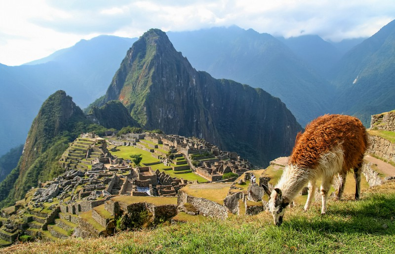 In den Anden leben viele Lamas.